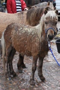 tierheim pony